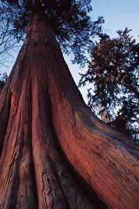western-red-cedar-tree